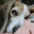 20131110 朝からうたた寝のハナちゃん