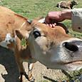 20140427 子牛をなでる!