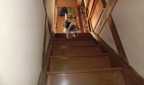 20130929 ハナちゃん、階段を下りる。