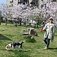 20130330 楊子三島公園の桜
