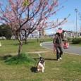 2010/02/27撮影 河津桜とハナとubazakuraさん