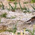 2011/01/23撮影 ネギ畑のツグミ