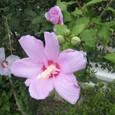 09/07/12撮影 ムクゲの花