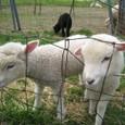 2011/05/04撮影 仔羊その2