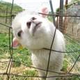 2011/05/04撮影 仔羊その1