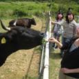 2011/05/04撮影 デンマーク牧場の牛