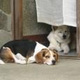 2011/08/19撮影 眠い犬たち