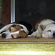2012/07/15撮影 枕を並べた犬兄妹