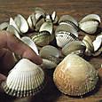 20130713 サルボウ貝 と 鳥貝