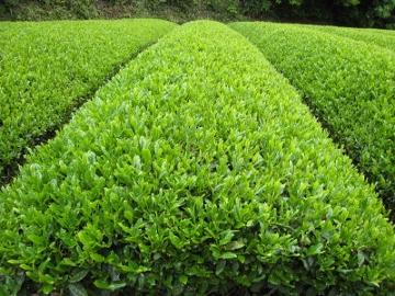 2011/05/03撮影 袋井の茶畑