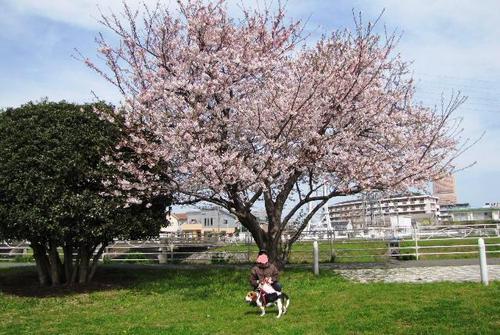 2010/04/03撮影 桜とubaさんとハナ