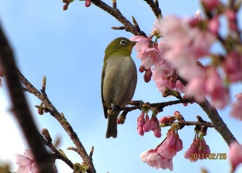 2011/02/26撮影 河津桜とメジロ