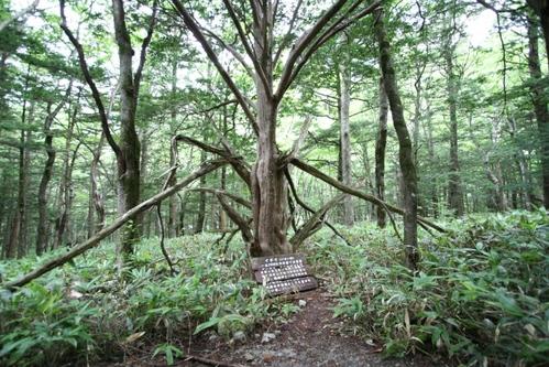 080814撮影 イチイの木