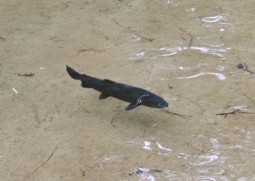 080814撮影 明神池のイワナ