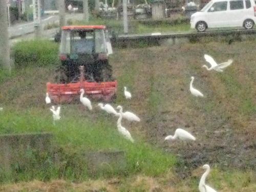 田起こしにサギの群れ