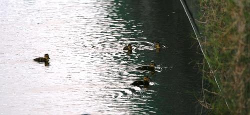2011/07/16撮影 カルガモの子供たち