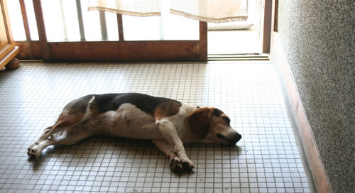 2012/04/29 暑くて行き倒れ中のハナ