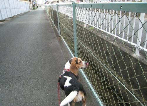 2009/07/19撮影 お散歩中のハナ