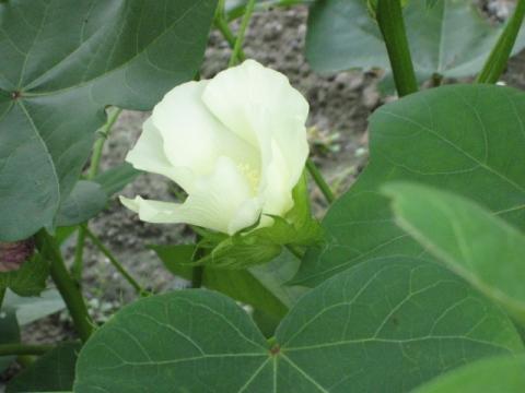 09/08/08撮影 オクラの花