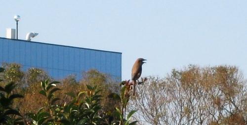 2009/11/7撮影 モズの高鳴き2