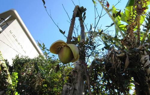 2009/11/21撮影 バナナの花