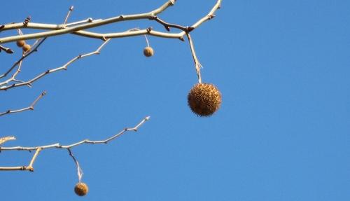 2011/01/30撮影 すずかけの木