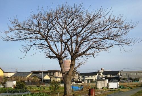 2011/03/06撮影 栴檀とアクトタワー