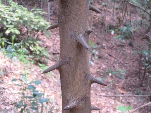 2011/04/03撮影 夏グミの木