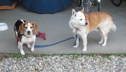 2011/04/24撮影 お散歩前のシロとハナ