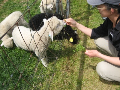 2011/05/04撮影 デンマーク牧場の仔羊