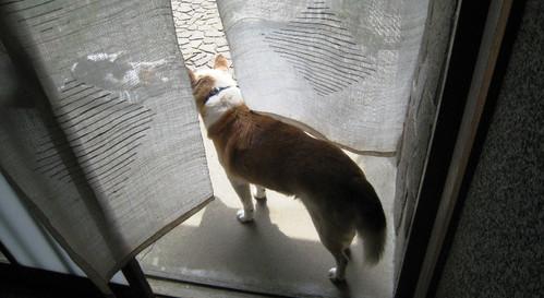 2012/04/15 暖簾をくぐるシロ