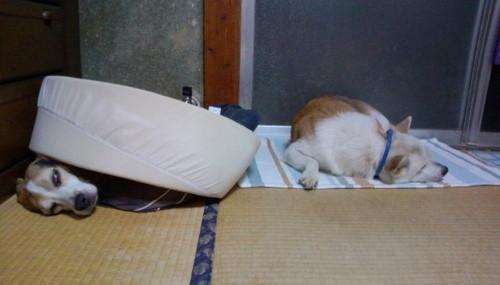 2012/09/08 ハナとシロ